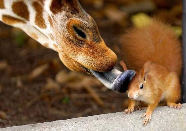 Невероятни снимки на животни от дивата природа - целувка от жирав