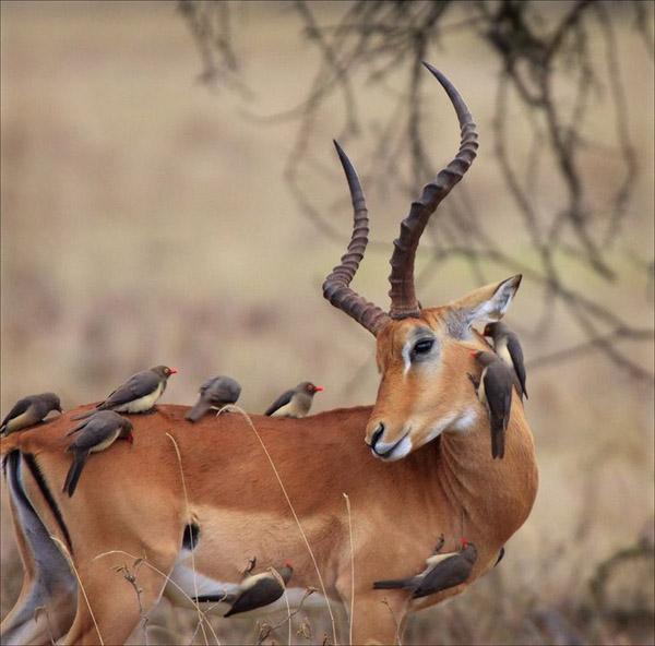 Невероятни снимки на животни от дивата природа - гъзела на SPA