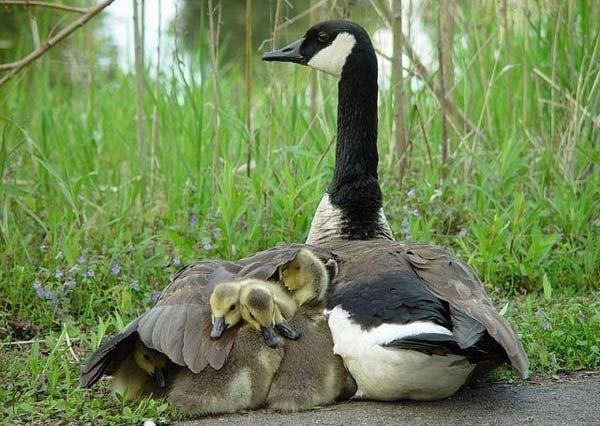 Невероятни фотографии на животни от дивата природа - майка пази своите малки