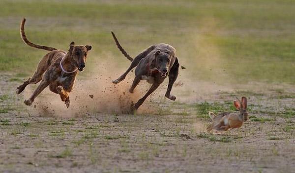 Невероятни фотографии на животни от дивата природа - Състезание на хрътки