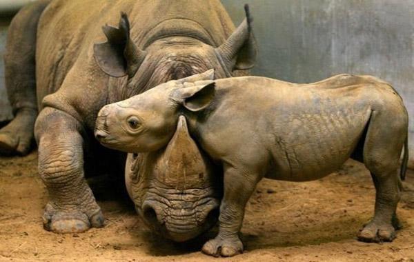 Невероятни снимки на животни от дивата природа - майка носорог с малкото си