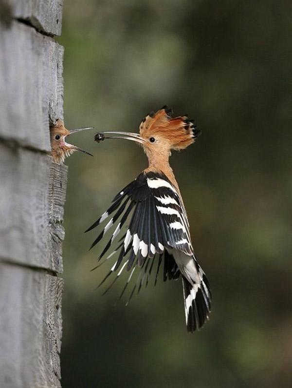 Невероятни снимки на животни от дивата природа - майка храни децата си